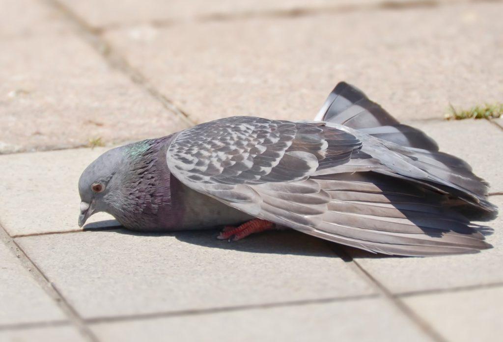 ぐったりした鳩の画像